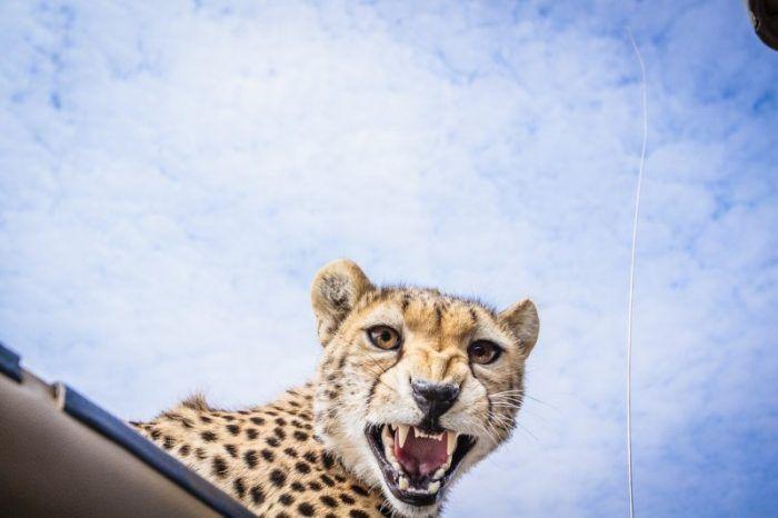 Зубки у гепарда