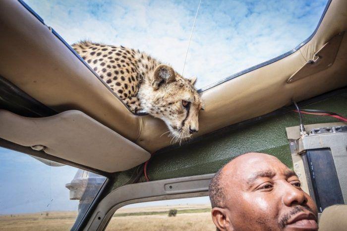 Фотограф и гепард