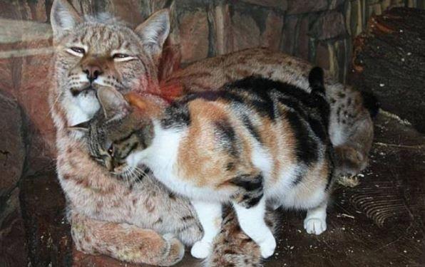 Кошечка лсковая