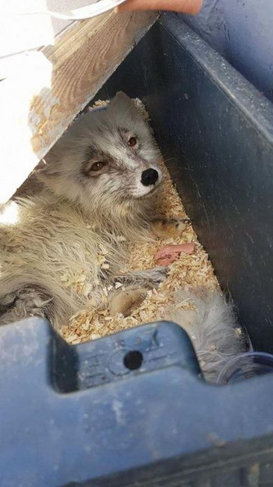 Спасенная лисичка