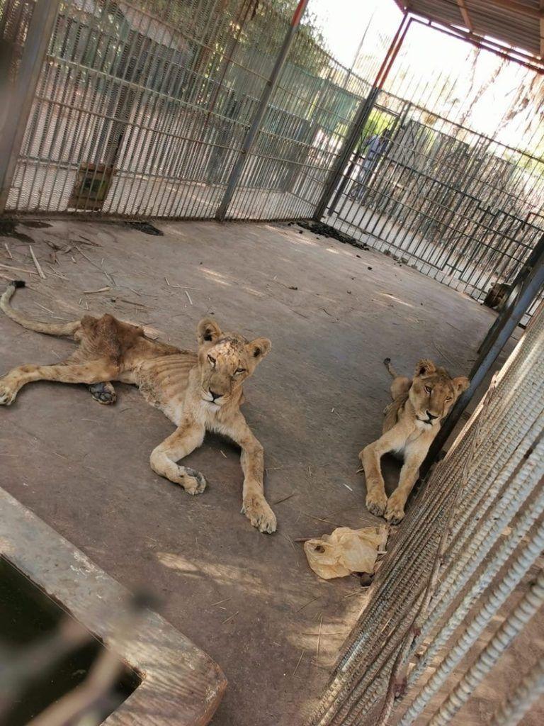 Содержание львов