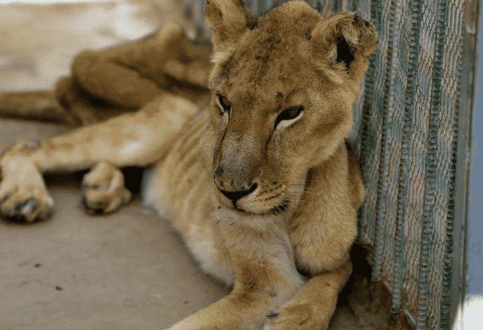 Голодные львы