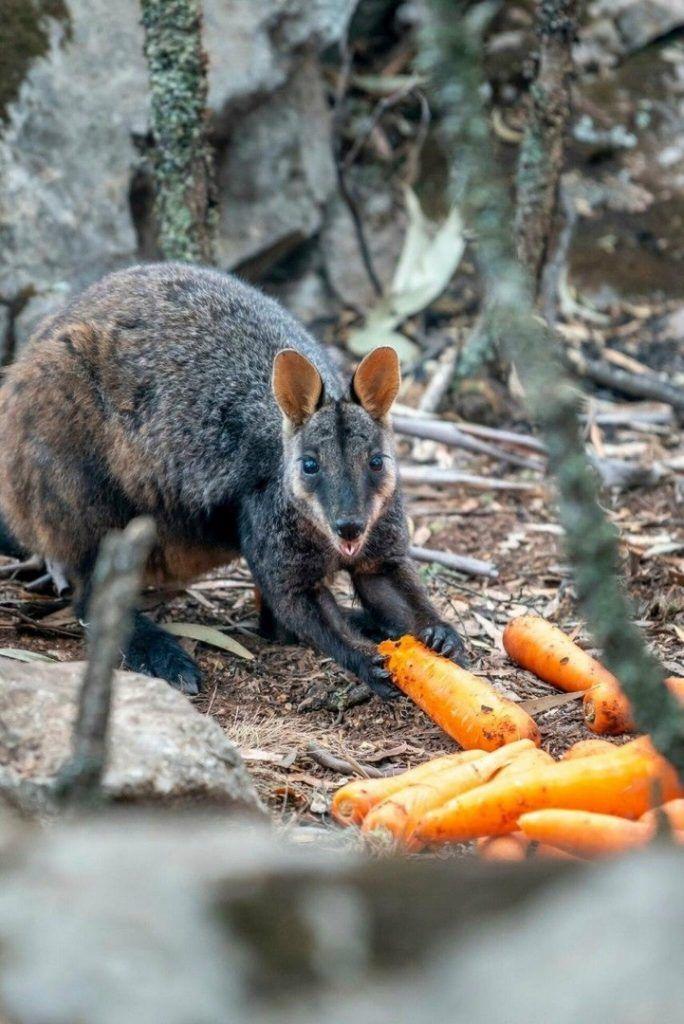 Валлаби ест морковку