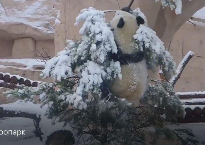 Панда на верхушке