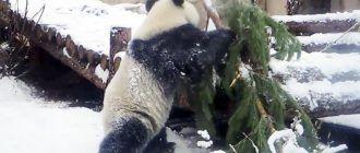 Панда с елкой