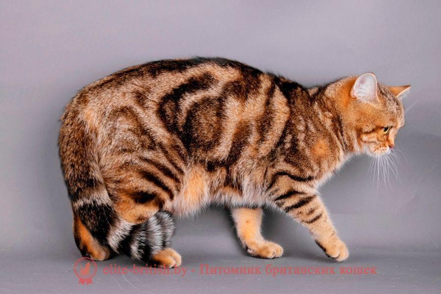 Золотой табби кот