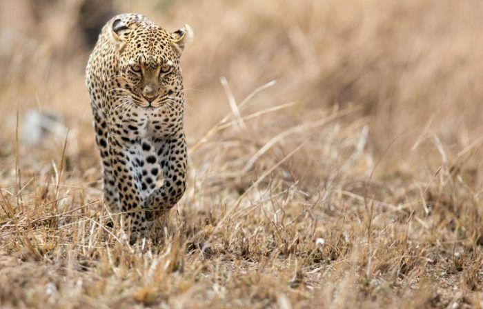 Леопард из Африки