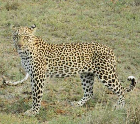 Африканский леопард в степи