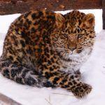 Пушистый амурский леопард