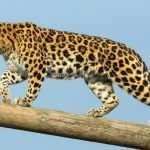 Леопард идет по дереву