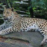 Кремово-белый амурский леопард