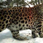Толстенький дальневосточный леопард