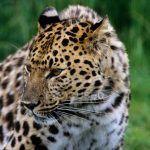 Взрослый амурский леопард