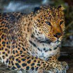 Рыженький леопард