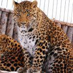Белая грудка у леопарда