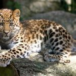 Смешные уши у подростка-леопарда