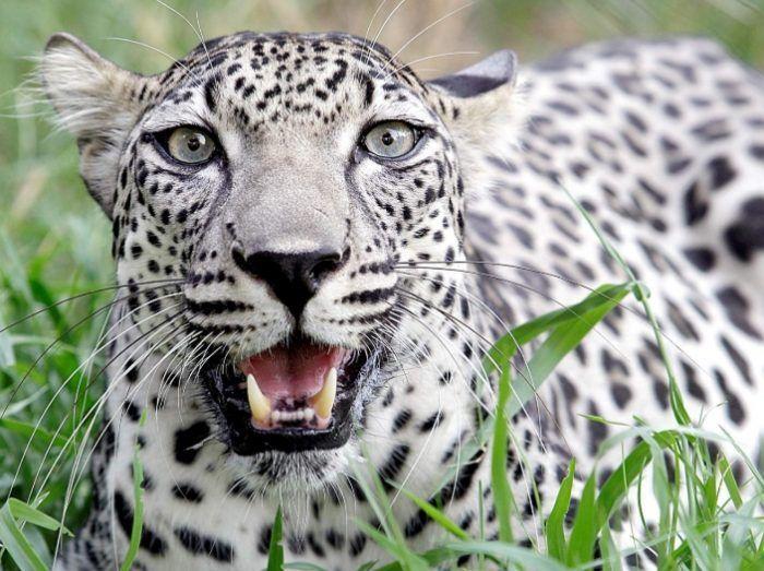 Арабский Леопард на фото