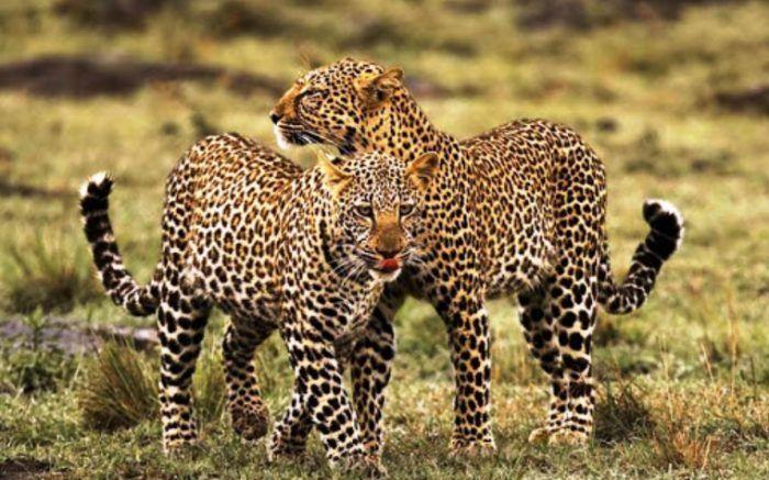 Два леопарда вместе