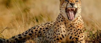 Гепард зевает