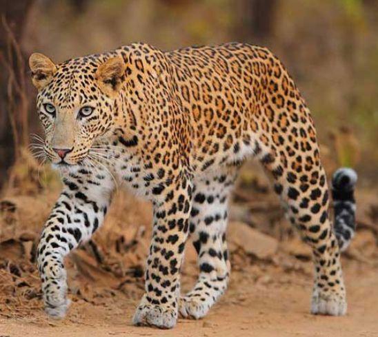 Индийский Леопард шагает