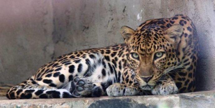 Индокитайский Леопард смотрит