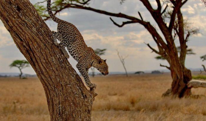 Серенгети прыгает с дерева