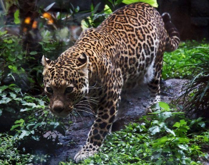 Яванский Леопард идет