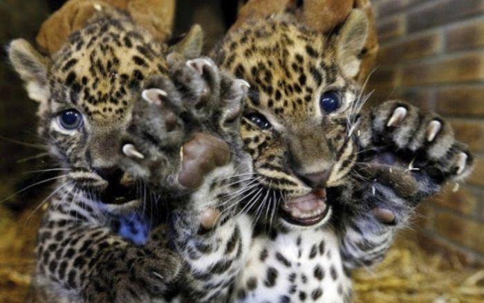 Крохи леопарды