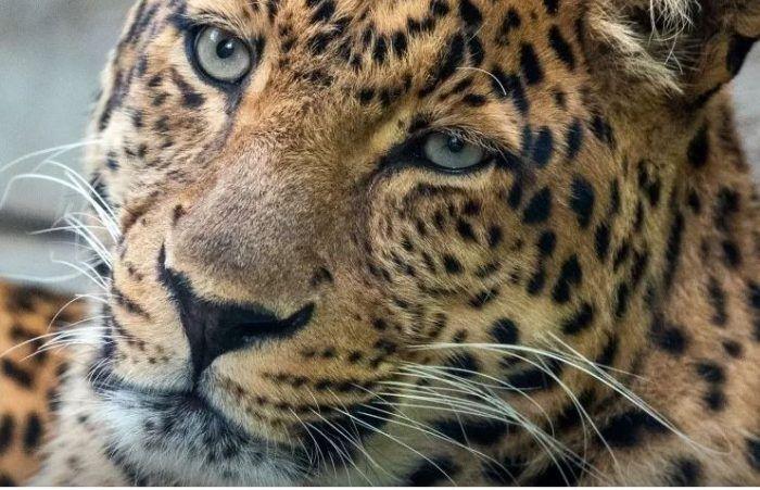 Сбитый леопард