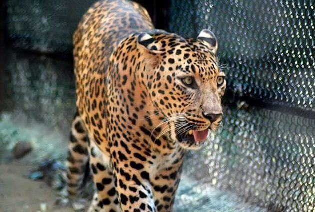 Леопард идет