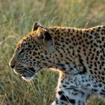 На леопарда светит солнце