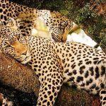 Два леопарда на дереве