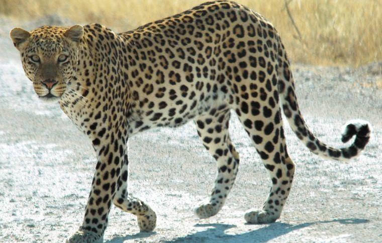 Леопард на дороге