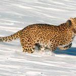 Леопард в снегу и бежит