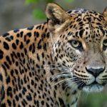 Леопард смотрит на фотографа