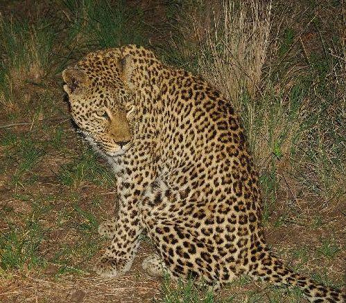 Леопард в пятнах оглянулся