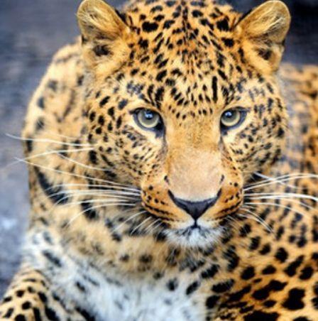 Леопард с белой грудкой смотрит
