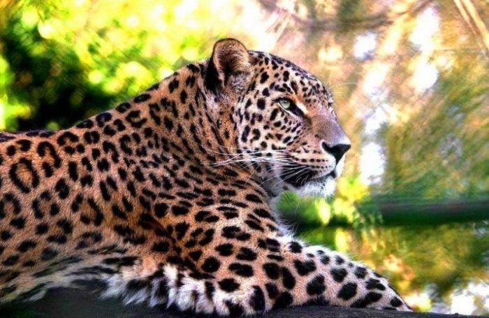 Леопард лежит на земле