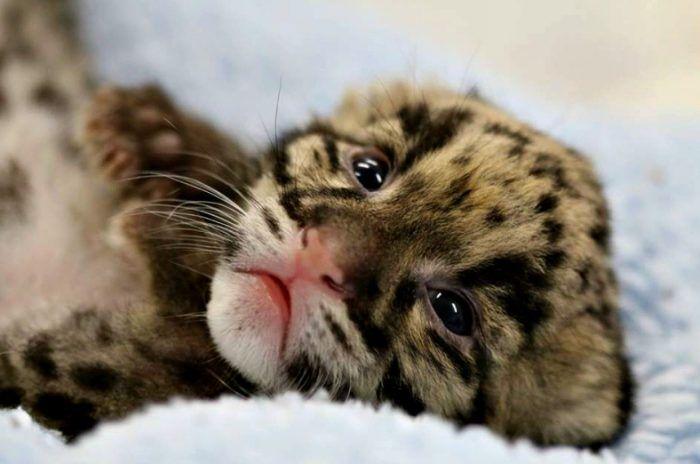 Малютка леопард