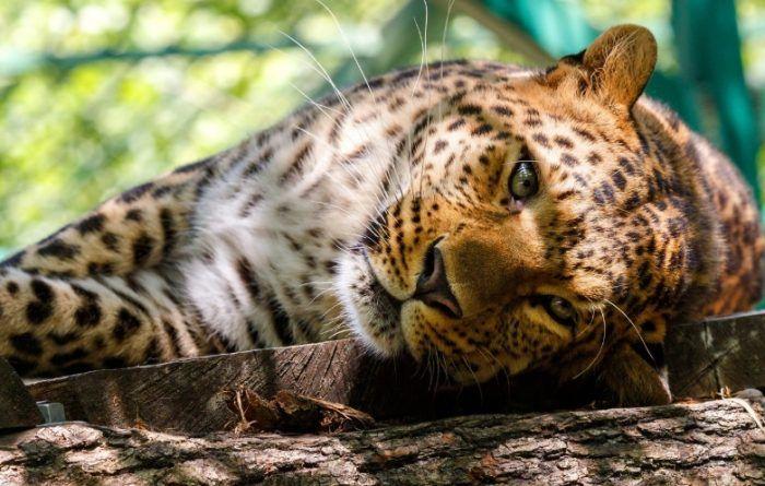 Леопард лежит на дереве
