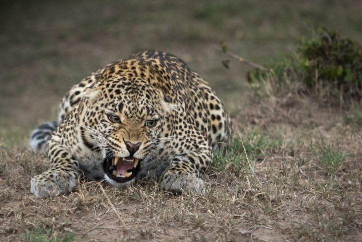 Леопард разинул пасть