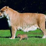 Большой лигр