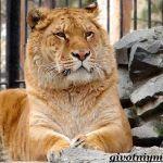 Грациозный лигр