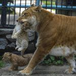 Лигр с детенышем в зоопарке