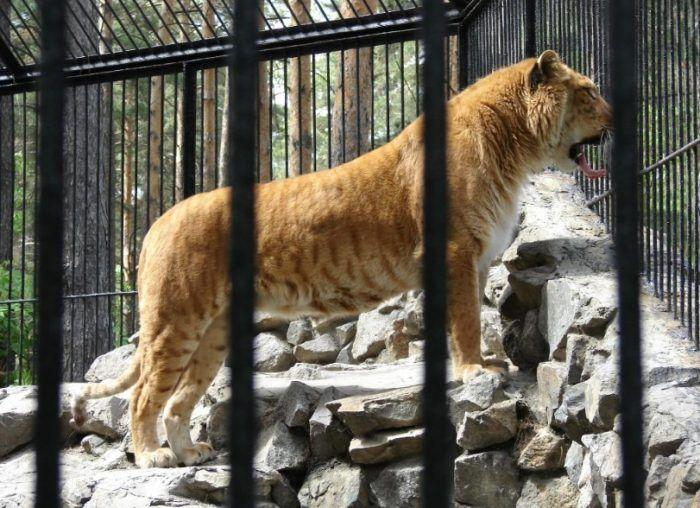 Лигрица Зита в зоопарке