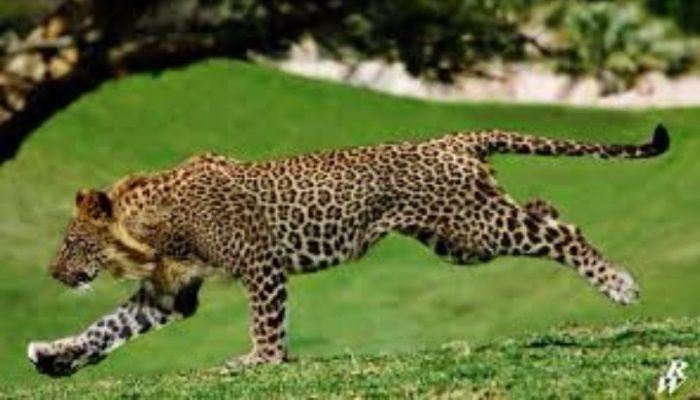 Лигуар бежит