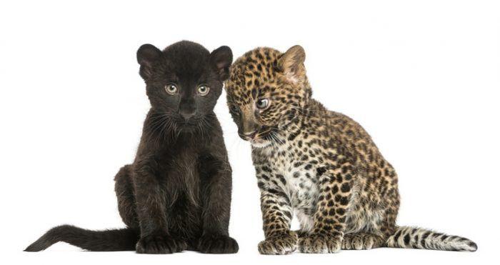 Черный и пятнистый котята