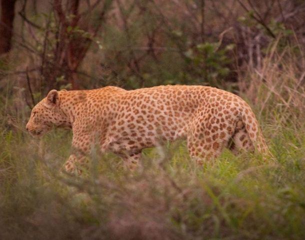 Леопард с эритризмом