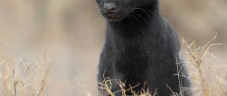 Черный сервал