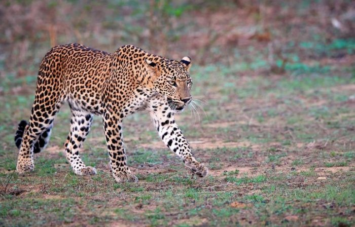 Шриланкийский Леопард гуляет